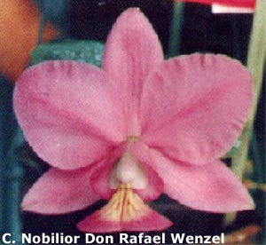 C. Nobilior Don Rafael Wenzel x self