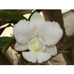 Walkeriana alba snow White